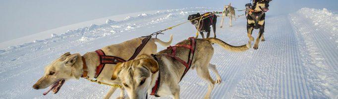 Esports de tracció amb gossos